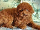 纯种泰迪幼犬 保健康 全国最低价 哪里有卖泰迪