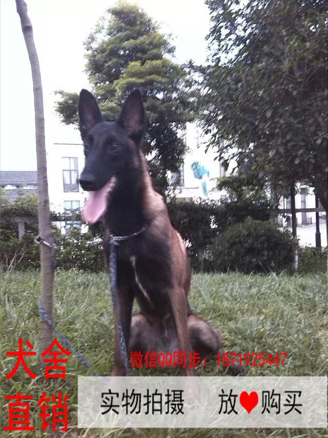 襄樊最长情的相伴 马犬您的爱犬 给它一个温暖的家