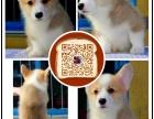 枣庄顶级 柯基 犬舍直销 让顾客买的优惠 放心和纯种