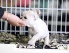 北京繁殖出售精品杜宾犬 结构完美优异 基因血统稳定