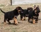 平顶山纯种德国牧羊犬 保健康 全国最低价