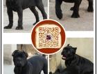 丽江出售纯种意大利护卫犬卡斯罗幼犬 猛犬卡斯罗包健康