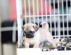 大同德阳市八哥犬什么价哪里卖纯种八哥犬德阳市八哥便宜吗