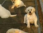 东德牧羊犬标准图2017东德牧羊犬出售