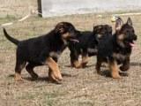 镇江纯种德国牧羊犬 保健康 全国最低价