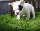 哪里卖白色法国斗牛犬哪里买的法牛价格便宜黑白法牛怎么卖的