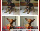 三门峡最长情的相伴 小鹿犬您的爱犬 给它一个温暖的家