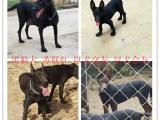 丽水哪里有卖黑狼犬的,黑狼犬多少钱一只