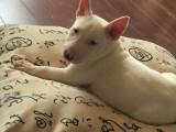 齐齐哈尔最长情的相伴 牛头梗犬您的爱犬 给它一个温暖的家