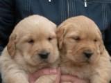 宝鸡金毛犬多少钱一只小金毛猎犬价格