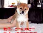 保定哪里有柴犬出售 纯种日本柴犬一般的多少钱 柴犬哪里的好看