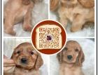 北京专业繁殖纯种美可卡幼犬赛级品相毛色发亮顺保健康