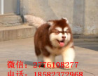 天津哪里有纯种巨型大骨架阿拉斯加雪橇犬出售 阿拉斯加多少钱
