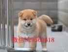 沈阳出售赛级双血统柴犬纯种柴犬小柴犬 聪明而且可爱世界上最忠