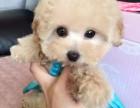 深圳哪里有贵宾幼犬出售 贵宾幼犬长不大小体的多少钱 贵宾犬舍
