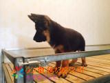 芜湖哪里有卖德国牧羊犬芜湖宠物狗出售信息芜湖哪里有犬舍