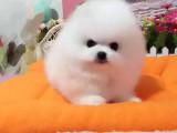 哈尔滨俊介多少钱俊介图片白色俊介价格多少钱博美犬和俊介