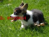 朝阳哪里能买到纯种柯基犬健康柯基犬幼犬健康纯种 包存活