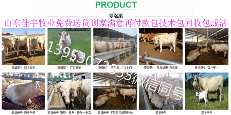 东北肉牛犊价格2018年肉牛犊价格小三元 杂交肉牛犊图片