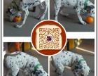 郑州出售纯种斑点狗 保健康 血统纯 疫苗都打好包活