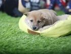 聊城哪里卖柴犬哪里有纯种柴犬卖日系柴犬价格