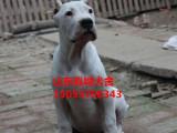 柳州什么地方杜高犬的杜高犬养殖场