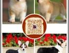 湘西顶级 柯基 犬舍直销 让顾客买的优惠 放心和纯种