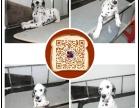 惠州出售纯种斑点狗 保健康 血统纯 疫苗都打好包活