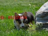 哈尔滨三个月大的柯基犬哪里卖赛级柯基犬幼犬健康纯种 包存活