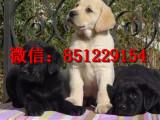 东营拉布拉多出售信息,拉布拉多导盲犬多少钱,哪里有健康拉布拉