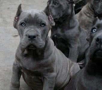 鞍山纯种卡斯罗 卡斯罗幼犬幼崽 保健康 全国最低价