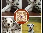 常州出售纯种斑点狗 保健康 血统纯 疫苗都打好包活