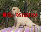 东方哪里卖拉布拉多便宜,黄色拉布拉多价格,拉布拉多幼犬图片