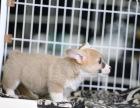 哪里卖柯基犬纯种柯基多少钱双色柯基的价格是多少