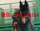 上海哪里有德牧狗场,弓背德牧多少钱,德国牧羊犬图片