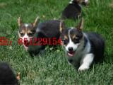 抚顺哪里有卖双色柯基纯种柯基犬幼犬出售柯基养殖场