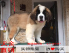 烟台最长情的相伴 圣伯纳犬您的爱犬 给它一个温暖的家