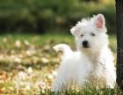 苏州最长情的相伴 西高地犬您的爱犬 给它一个温暖的家