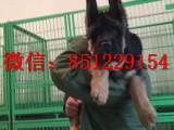 丽水锤系德牧出售,CSV德牧,德国牧羊犬幼犬
