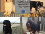 湛江哪里有卖黑狼犬的,黑狼犬多少钱一只