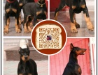 南充繁殖出售精品杜宾犬 结构完美优异 基因血统稳定