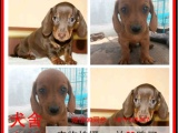 柳州最长情的相伴 腊肠犬您的爱犬 给它一个温暖的家