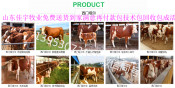陕西杨凌肉牛犊出售2018年肉牛犊价格表一只肉牛牛犊多少钱一