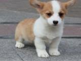 绍兴哪里能买到纯种双色三色柯基幼犬柯基图片