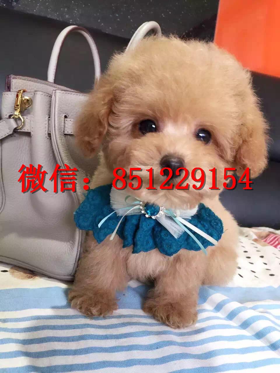 葫芦岛黑色泰迪熊出售,棕色泰迪犬多少钱,茶杯泰迪幼犬图片