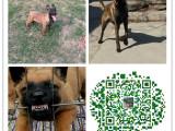 三明哪里有卖杜高犬的,杜高犬多少钱一只