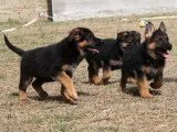 三明纯种德国牧羊犬 保健康 全国最低价