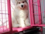 本溪纯种阿拉斯加幼犬 宠物狗活体 西伯利亚雪橇犬大型犬