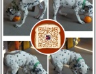 扬州出售纯种斑点狗 保健康 血统纯 疫苗都打好包活