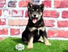 哈尔滨哪里有柴犬出售纯种柴犬多少钱日系柴犬幼犬柴犬犬舍